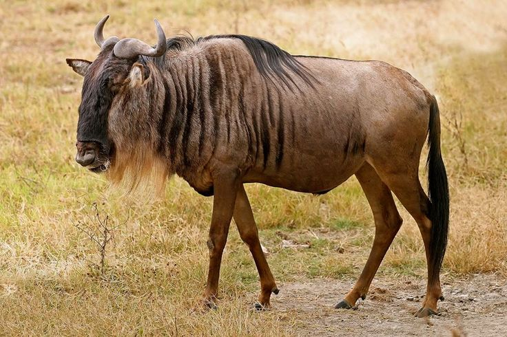 Blue wildebeest (Connochaetes taurinus)  The blue wildebeest, also called the common wildebeest, white-bearded wildebeest or brindled gnu, is a large antelope and one of the two species of wildebeest.  The blue wildebeest is a herbivore, feeding primarily on the short grasses which commonly grow on light, alkaline soils that are found in savanna grasslands and on plains. The blue wildebeest feed...