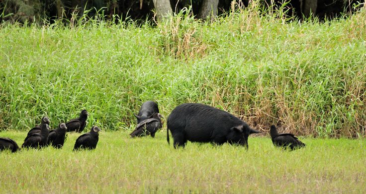 myakka state park | Description Coragyps atratus -Myakka River State Park, Florida, USA ...