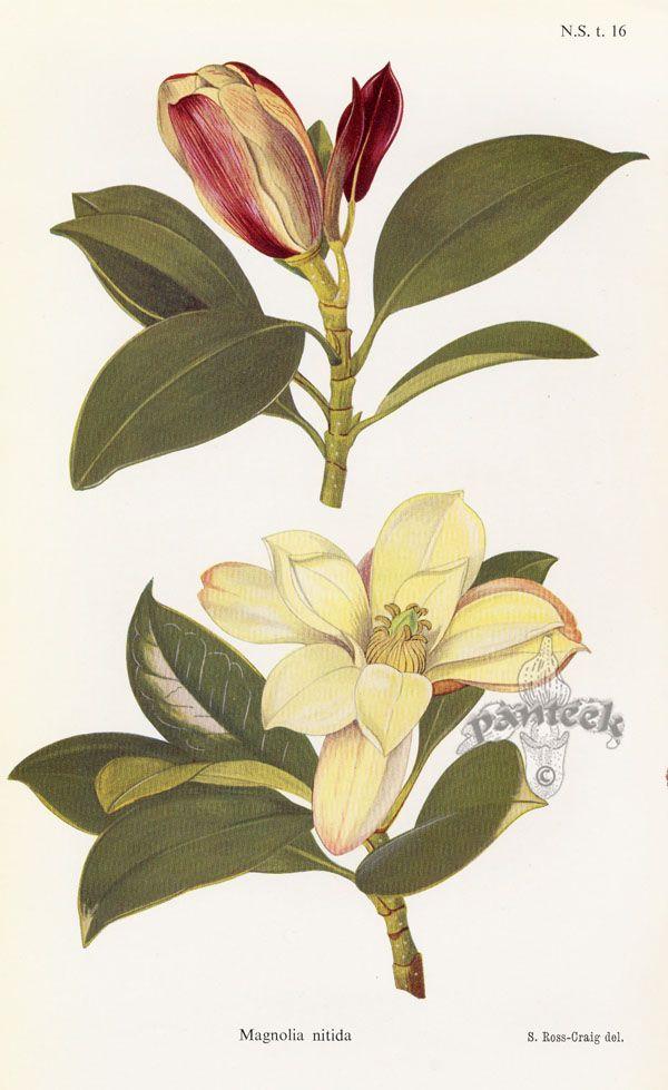 559 best images about botanical illustrations edibles and - Cuisine magnolia schmidt ...
