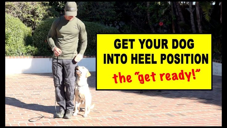 Focused Heeling Competition Heeling The Get Ready Dog