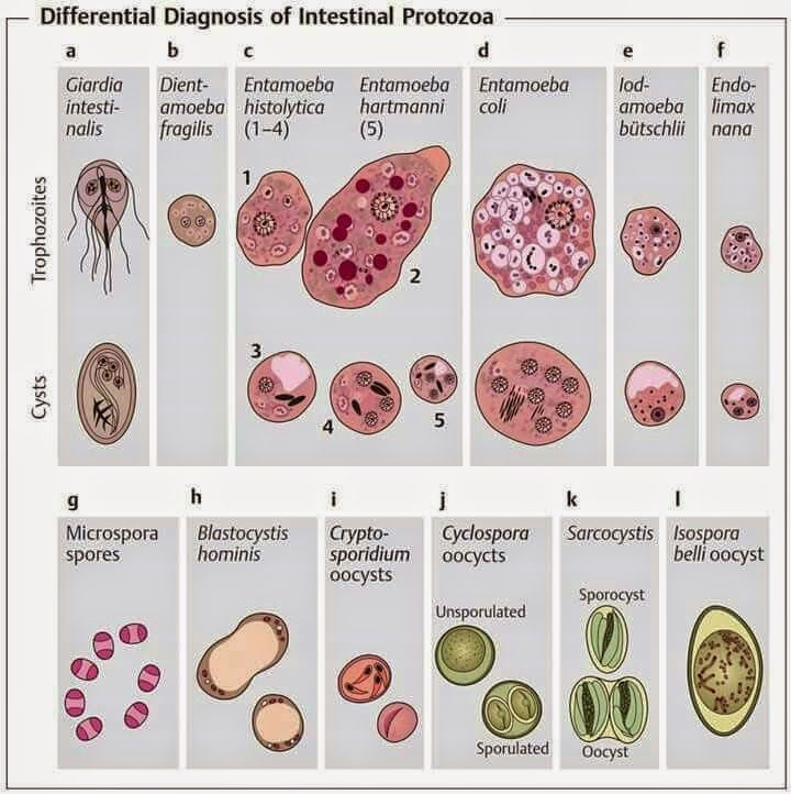 Medical Laboratory and Biomedical Science: Overview of Intestinal Protozoan Infections