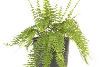 How to Grow Ferns From Clippings (8 Steps)   eHow