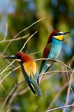 European Bee-eaters. (I need these around my house, always)