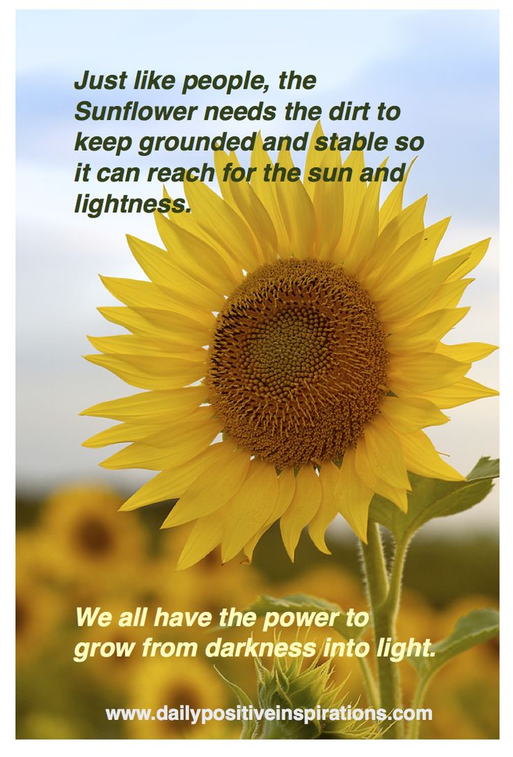 117 best sunflower images on pinterest sunflowers beautiful sunflowers symbolize growth and beauty when we grow towards the light izmirmasajfo