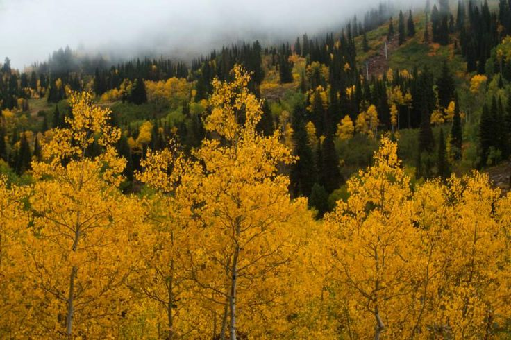 Utah Tree | Photo: 7 fun facts about Utah's new state tree, the quaking aspen ...