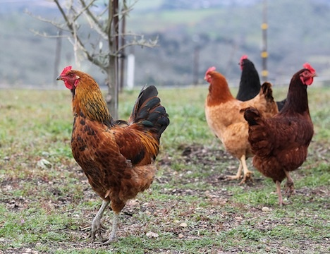 The 6 Best Chicken Coop Tours Around the Country : TreeHugger