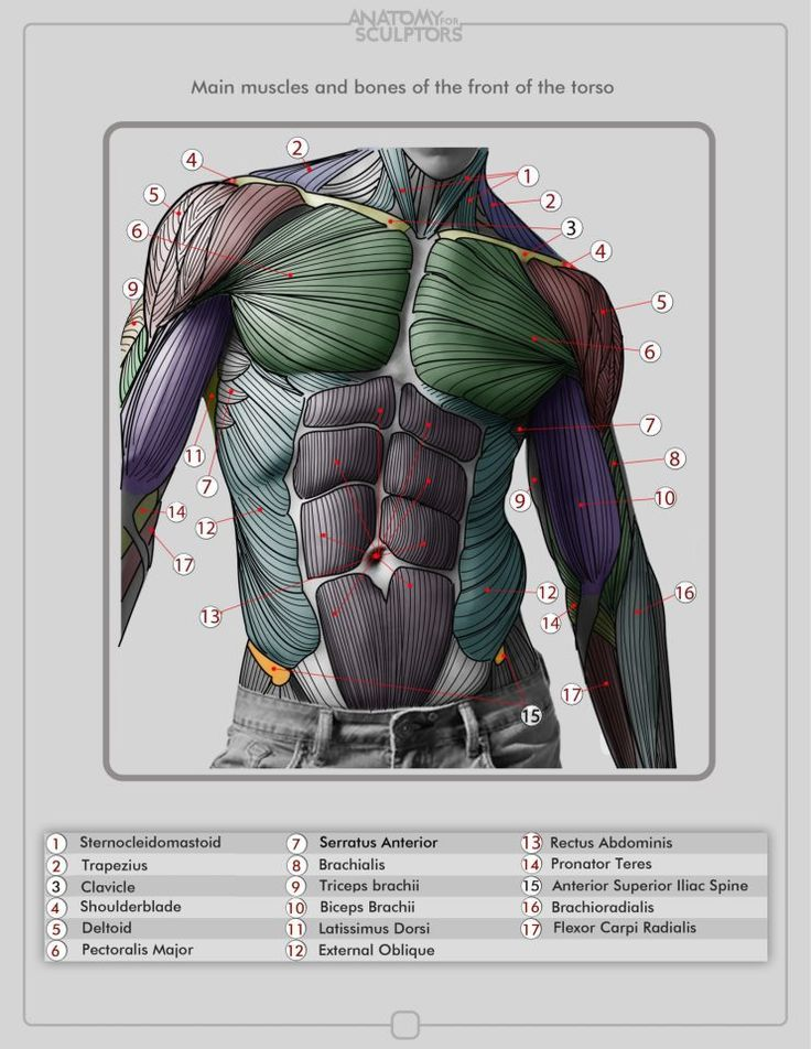 Torso Muscles — Anatomy references for artists