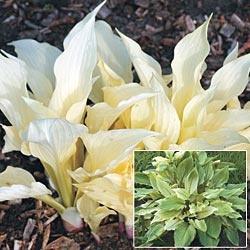 16 best white flowers in shade gardening images on pinterest shade white feather hosta mightylinksfo