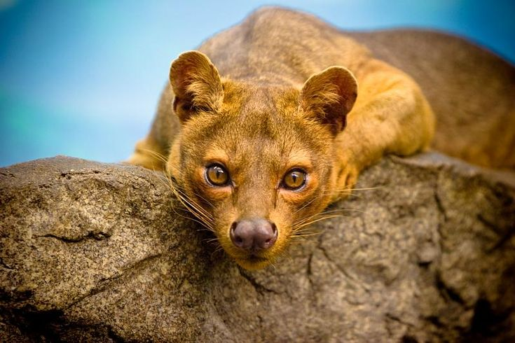 WEIRD ANIMAL OF THE WEEK: The Fossa may look like a big cat, but it's really a member of the mongoose family. The Fossa is only found in Madagascar and it's the largest predator on that island.