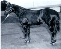 Lucky Blanton 1936-1960 Lucky Blanton.  This chestnut stallion was a top rope horse and rope horse sire, the majority of his offspring stayed on ranches or were used in the rodeo arena.