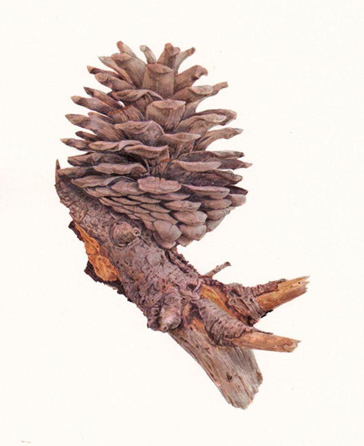 Pinus-sp.-Pine-Cone52b28b18df590.jpg 800×982 pixels