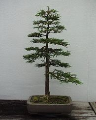 I'm getting a Sequoia to Bonsai! Oh the irony ;) ...