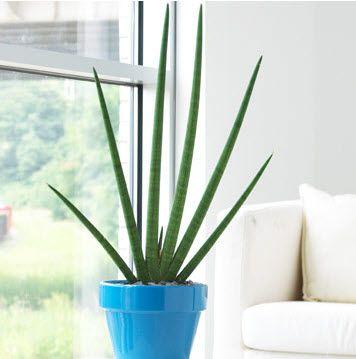 cylinder-snake-plant; love the blue shiny pot