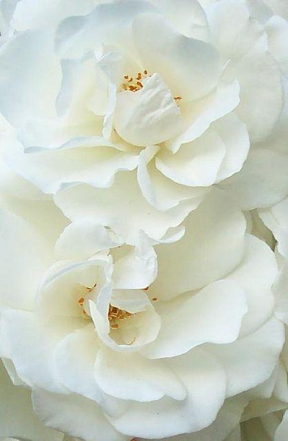 White Roses by Worjohn