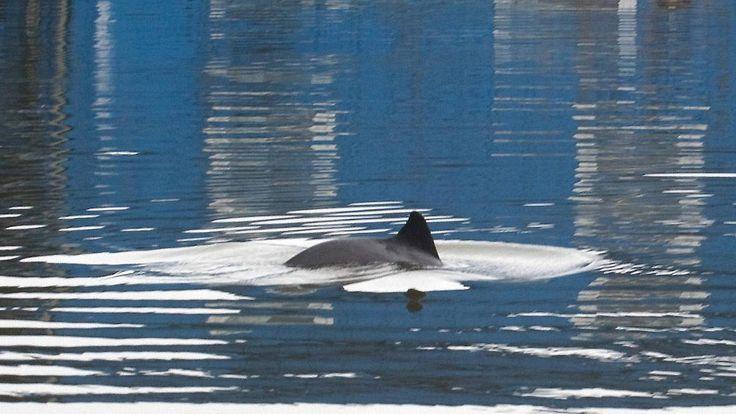 Auf Nahrungssuche: In der Elbe schwimmen so viele Schweinswale wie nie zuvor