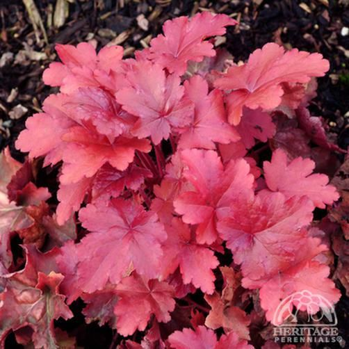 Heuchera 'Cherry Sorbet'