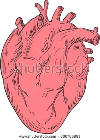 Drawing sketch style illustration of a human heart anatomy set isolated white background.  #heart #drawing #illustration