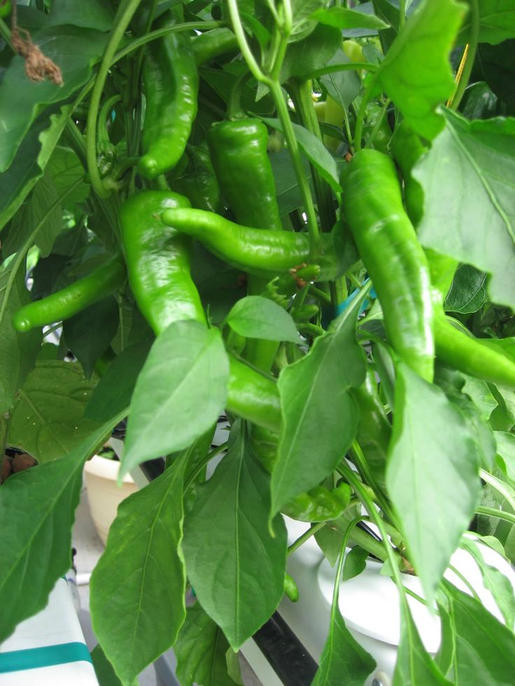 How to grow chili peppers. Easy to grow, beautiful plants. Well worth it!