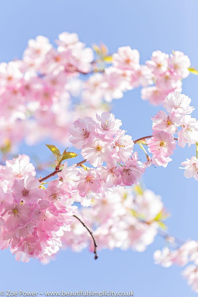 The Prettiest Cherry Blossom S Izobrazheniyami Cvetenie Vishni Cvetenie Cvety
