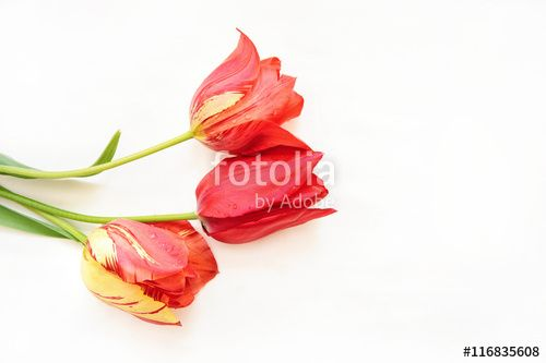 red tulips isolated on white. background with flowers