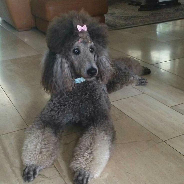 Discover The Proud Poodle Temperament Poodlehair Poodlesofig