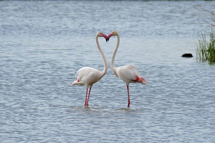 The greater flamingo is the most widespread species of the flamingo family. It…