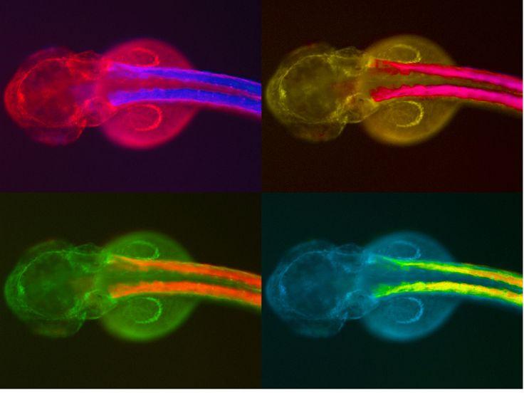 Vista dorsal de un embrión de una línea transgénica de pez cebra.