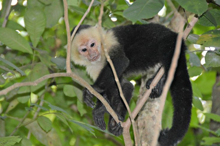 Costa Rican wildlife: Capuchin monkeys