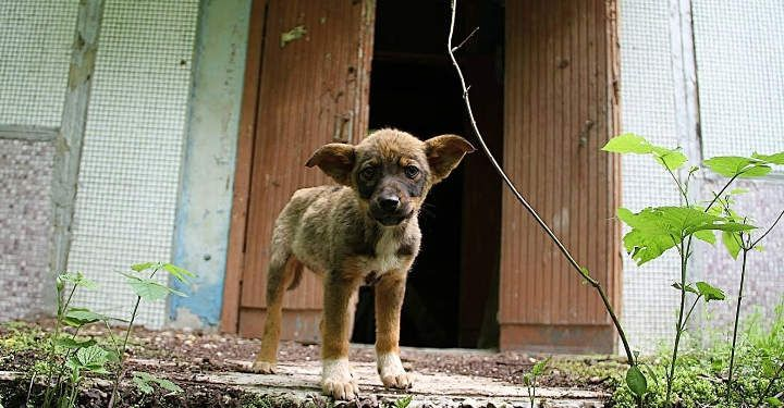 After the Chernobyl disaster, many things changed in that area and out of the survivors were some few hundred stray dogs that learned how to stay alive in what must have been baron conditions.