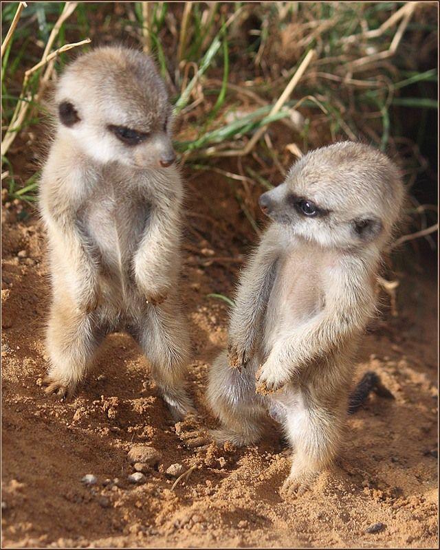 Baby Meerkats!
