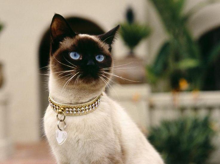 Cómo elegir el collar para mi gato - http://www.notigatos.es/como-elegir-el-collar-para-mi-gato/ #gatos