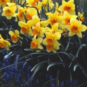 Narcissus - Fortissimo - Daffodil Bulbs for sale