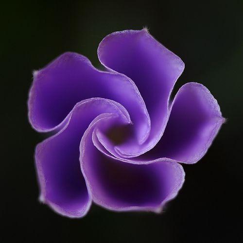 ~~ Wheel Of Fortune ~~ Purple Ground Morning Glory / Blaue Mauritius (Convolvulus sabatius) by AnyMotion~~