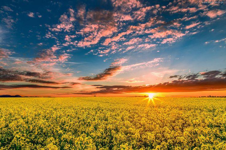 Pole, Żółte, Kwiatki, Kolorowe, Niebo, Zachód, Słońca