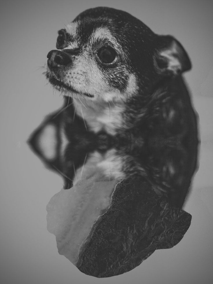 .Charles #portrait  #photography  #monochrome  #black&white  #dogsessions  #chihuahua  #nature  #inside  #yyc  #calgary  #mexicanphotographer  #irvingcreaphotos