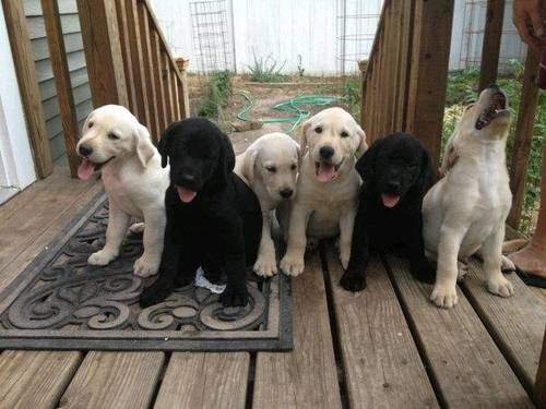Full bred Labrador puppies, black and yellow Labs for sale