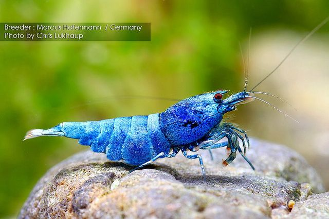 Blue Bolt Taiwan Bee Shrimp (Caridina cantonensis sp.)