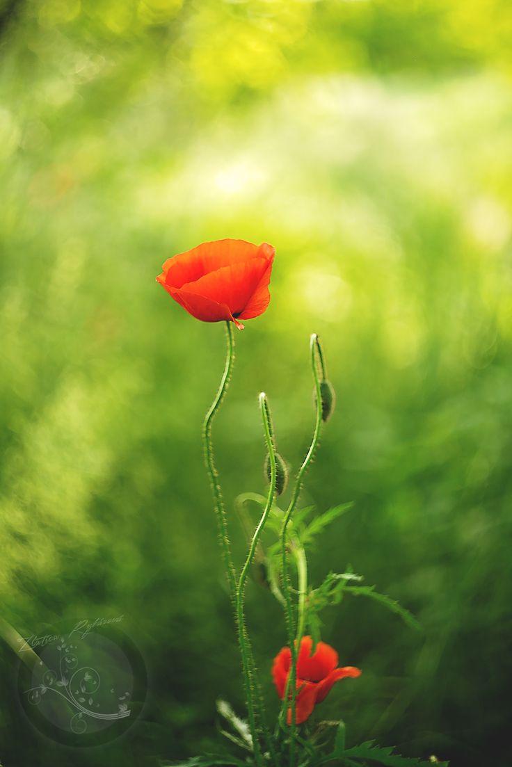 Poppy by Zlatica Rybárová on 500px