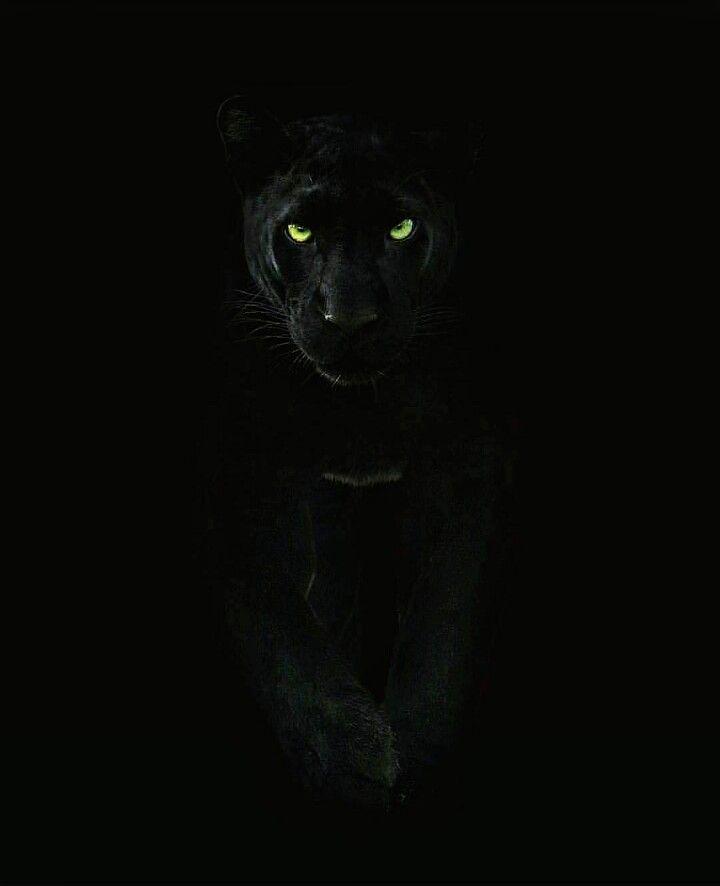 Pin By Henry Jose On Animales Increibles H Black Panther Cat Jaguar Animal Panther Cat Black jaguar eyes wallpaper