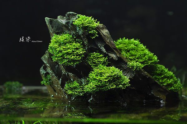 riccardia chamedryfolia: coral moss for freshwater tanks-ying.pixnet