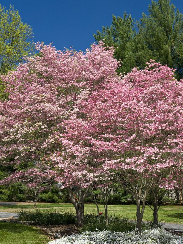 Pink Dogwood. See more spring-flowering trees from HGTV.com >> http://www.hgtv.com/gardening/flowering-trees/pictures/page-2.html?soc=pinterest