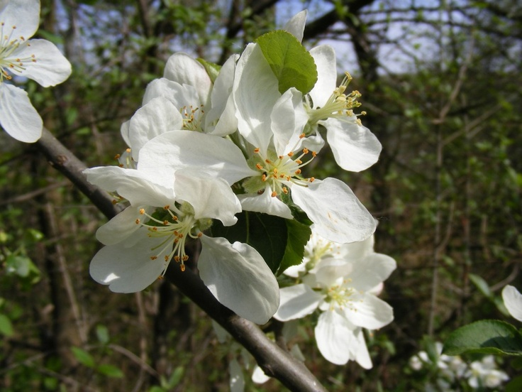 Apple Tree Flowers - Public Domain Photos, Free Images for Commercial Use