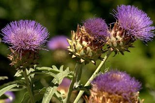 Beneficios terapéuticos de la hoja de alcachofa  http://blgs.co/Gy4zAo