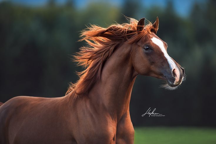 Araber Wallach galoppiert mit fliegender Mähne über die Wiese | Portrait | Fuchs | Pferd | Bilder | Foto | Fotografie | Fotoshooting | Pferdefotogra…