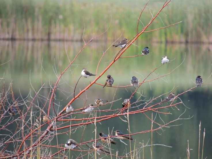Swallows ©Steve Frye. Wild Bird Center of Boulder, CO Saturday Morning Bird Walk in Boulder County - September 13, 2014.