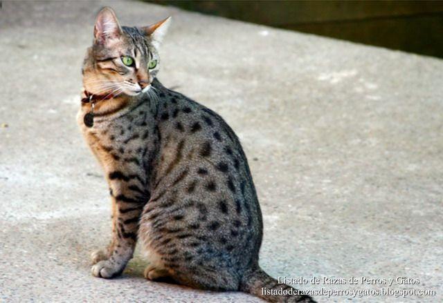 Gato Mau Egipcio de color bronce. Gato sentado en el patio de su casa. Gatos de raza (Egyptian Mau cat bronze. Cat sitting in the backyard. Cats breed)