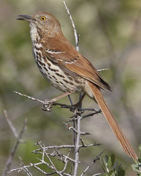 Brown Thrasher - have spent lots of time trying to catch these in my sight - very sneaky.