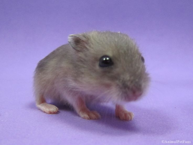 https://flic.kr/p/FdoK6p   Filhote de Hamster