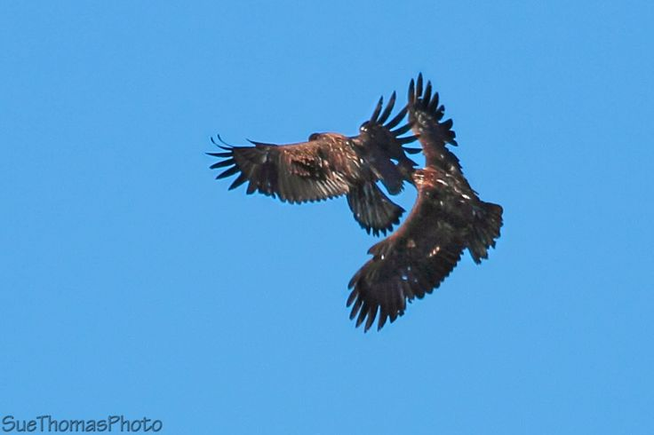 Juvenile Bald Eagles sparring in the air