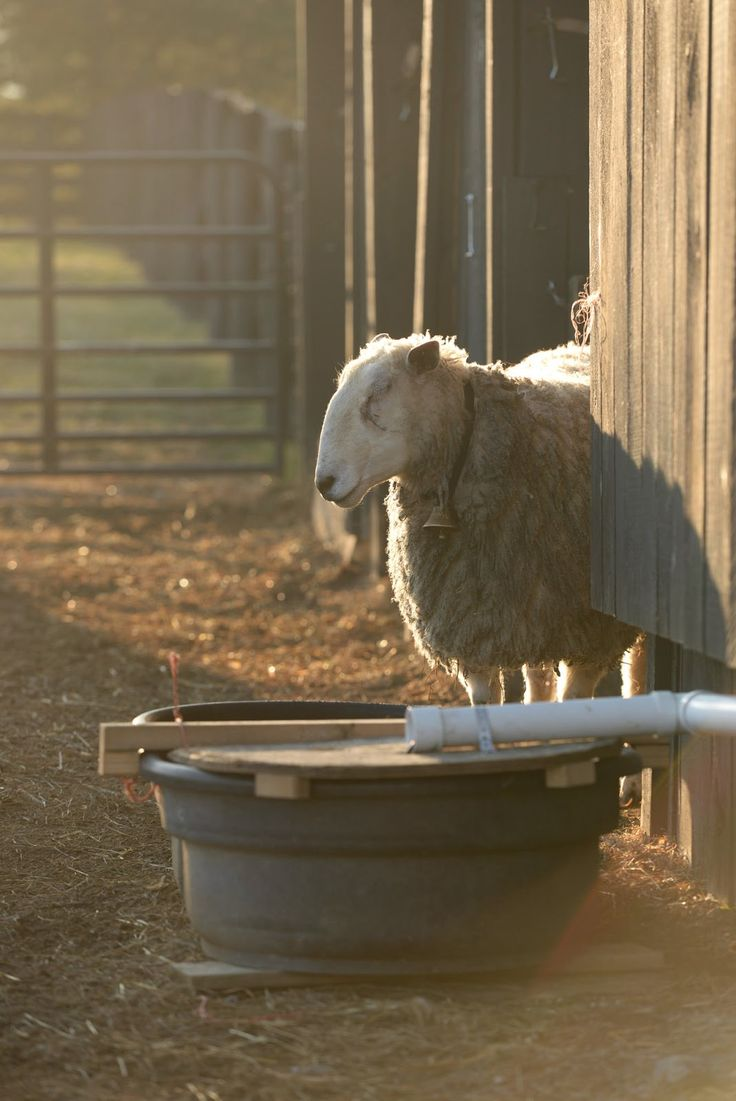Sheep are wonderful reminders for us to slow down and enjoy the warm sun on our faces, meadow flowers in bloom and soft cushions of green grass under our feet. Stay and graze. We hope you enjoy your visit!